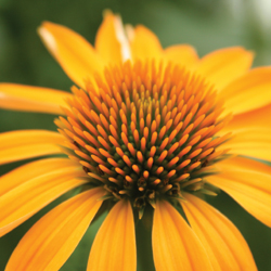 crazyconeflowers2