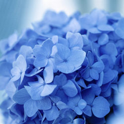 endless-summer-hydrangeas-3