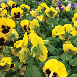 fall-pansies-2